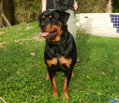 Rottweiler Puppies for Sale in Miami, Florida